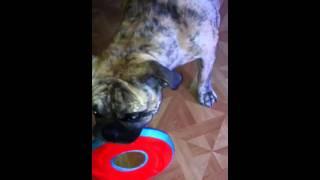 Biggie The Bulldog Mix Pug