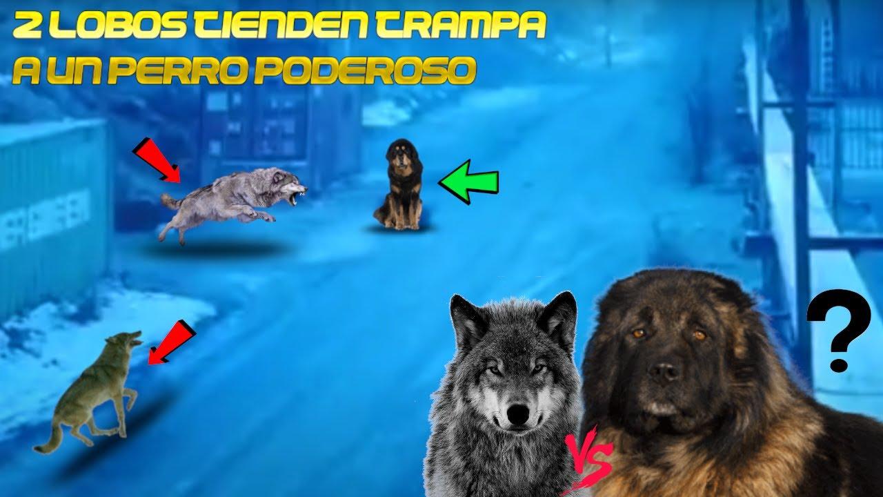 1 Perro PODEROSO vs 2 LOBOS Astutos,Esto Sucede (2 Wolves VS 1 Caucasian Ovcharka DOG)