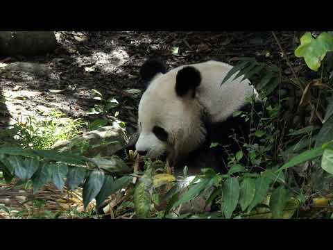 Giant Panda Breeding Research Base (Xiongmao Jidi)