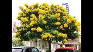 شجرة كاسيا جلوكا ذهب اصفر يسحر cassia glauca tree