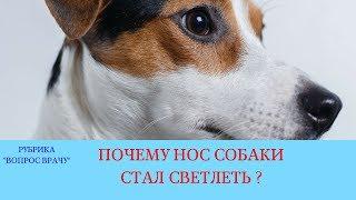 02.02.18 Нос собаки светлеет (осветление участка слизистой оболочки у собаки)