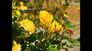 suomi sexiä keltainen ruusu helsinki