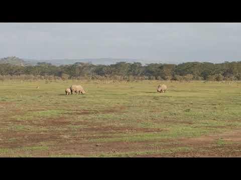 White rhinoceros at Lake Nakuru