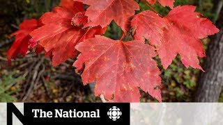 How climate change affects fall colours
