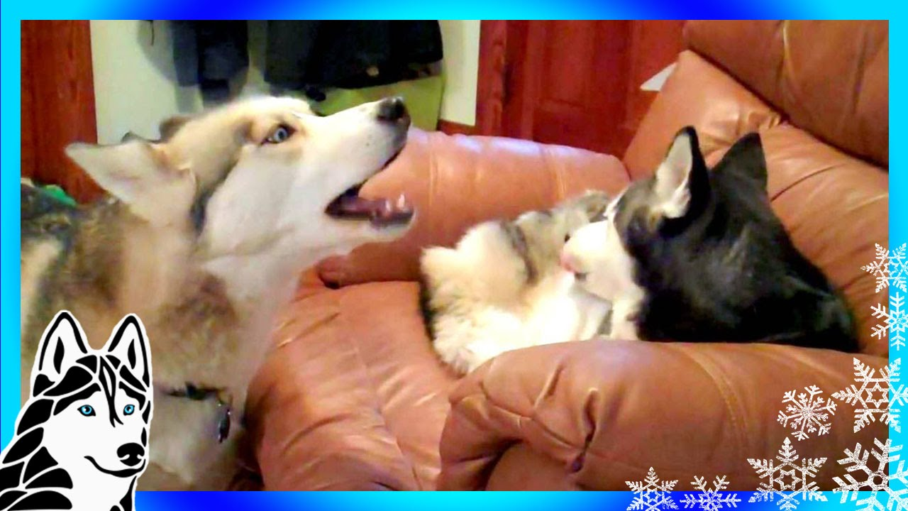Siberian Husky Howl Duet Singing Shiloh And Shelby Howling Huskies
