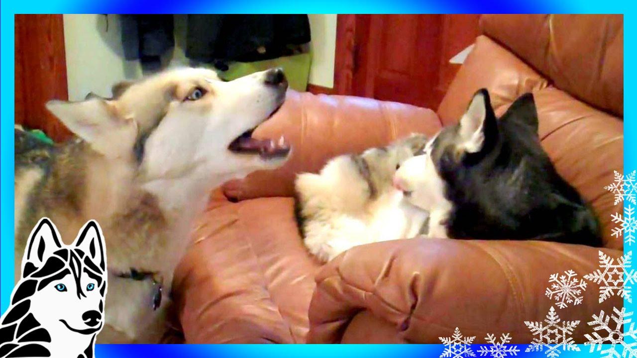siberian husky howl duet