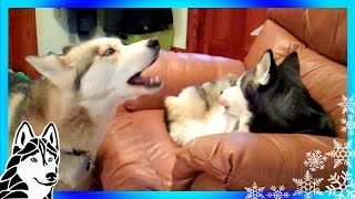 Siberian Husky Howl Duet Singing Shiloh And Shelby Howling Huskies Talking Puppies