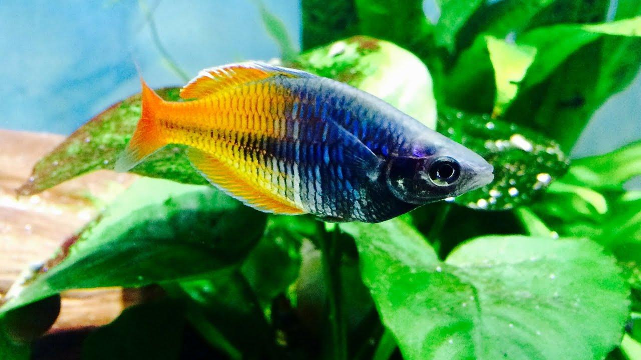 Freshwater juvenile fish - Juvenile Boesemani Rainbow Fish Freshwater 101