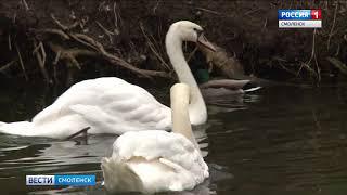 Главный смоленский парк снова украсился лебедями