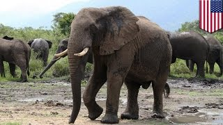 Cancer cure research: Elephants