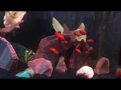 JUVENILE RED WAG PLATY FISH GROWTH