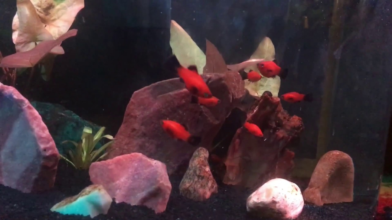 Freshwater juvenile fish - Juvenile Red Wag Platy Fish Growth Tropical Freshwater Abodes