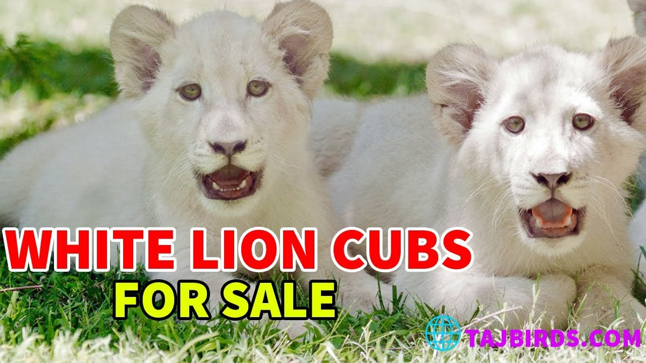 The Most Friendly White Lion Cubs In Karachi
