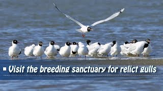 Live: Visit the breeding sanctuary for relict gulls 探秘中国河北遗鸥繁殖地