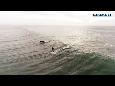 Dan Mitchinson - Dolphins Join Surfer For Amazing Ride