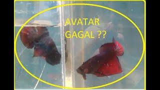 Ikan Cupang Avatar Gagal Mutasi Youtube