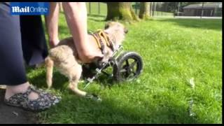 See Border Terrier Hope's New State Of The Art Wheelchair