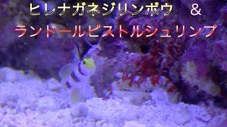 【アクアリウム/Aquarium】#5共生の仕方(ヒレナガネジリンボウ & ランドールピストルシュリンプ)