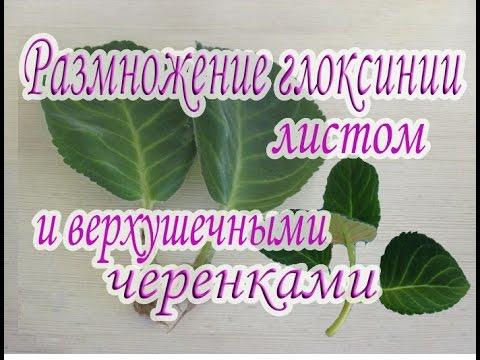 Размножение глоксинии листом и верхушечными черенками. Руководство для начинающих.