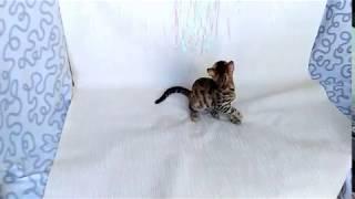 Бенгальская кошка Patricia