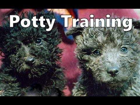 How To Potty Train A Pumi Puppy - Hungarian Herding Terrier House Training Tips - Pumi Puppies