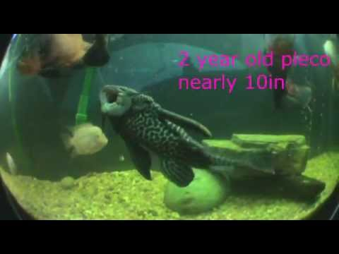 All Grown Up ep 4; Common Pleco - YouTube