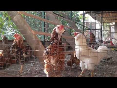 Птицы в Курске Орловская ситцевая