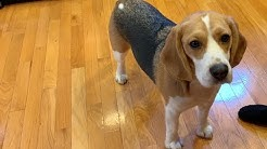 Three tips on how to train your beagle
