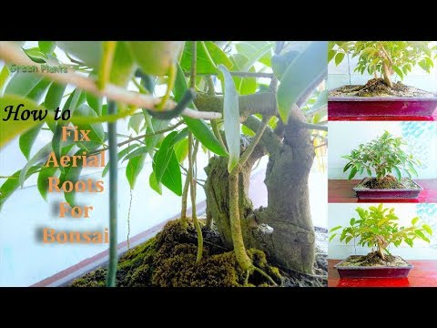 How to Grow Aerial Roots, Ficus Bonsai | bonsai trees for beginners //GREEN PLANTS