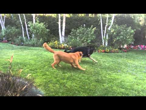 11 Month old German Shepherd and Golden Retriever play