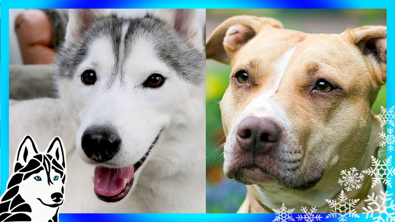 the banning of pitbulls Pit bull rescue central is a virtual shelter for homeless pit bulls, am staffs and pit mixes.