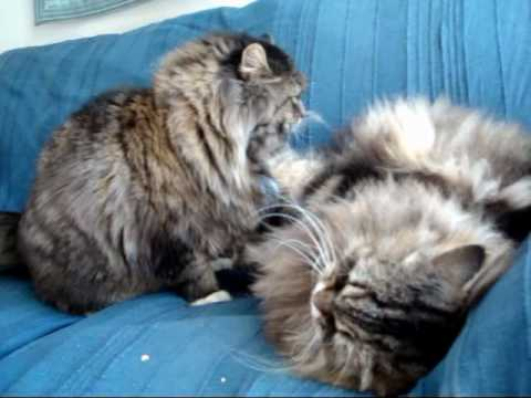siberian cat  fighting
