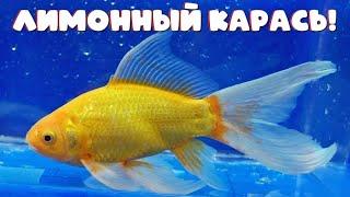 Лимонные караси! Очень яркие зимующие рыбки.