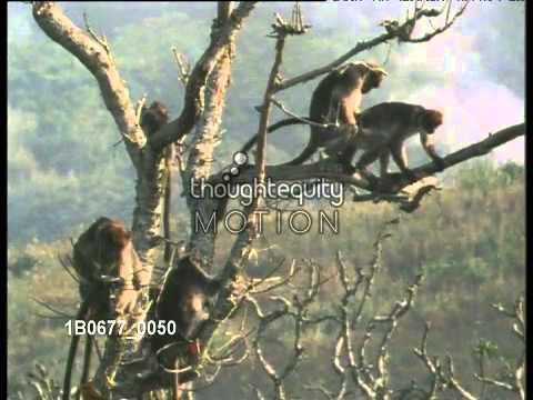アカコロブスの交尾/ Red Colobus monkey mating