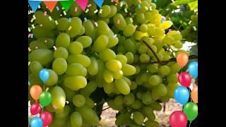 Shetkari maja super sonaka grapes