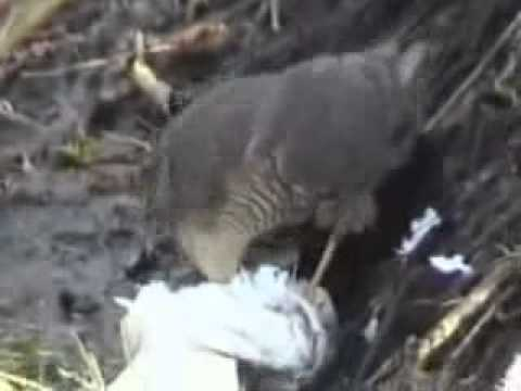 Prey positioning in a wild Eurasian Sparrowhawk (Accipiter nisus)