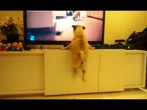 Excited Dogs Watching TV Compilation YouTube