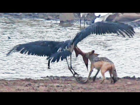 Jackal Kills Stork in an Epic Battle