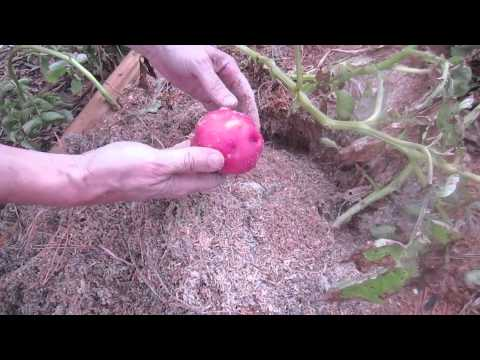 Red Potato Harvest: How I Got 10X Yield
