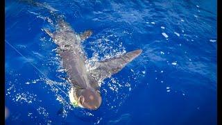 Massive SHARK that looks like an ALIEN!!! {Catch Clean Cook} Big Eye Thresher Shark