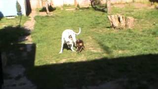 Doberman V Dalmatian, Unfair Weight Advantage.