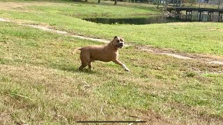 Pitbull Almost Loses Owner |Gorgeous Summer Scenery