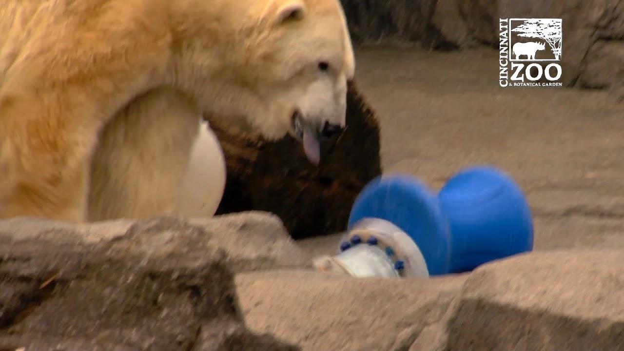 Polar Bear Birthday Party - Cincinnati Zoo - YouTube