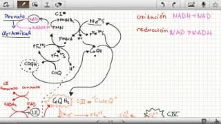 Cadena Transportadora De Electrones Como Funciona Bioquimica Reacciones Parte 1