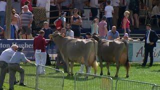 Gwartheg Swiss Brown Cattle