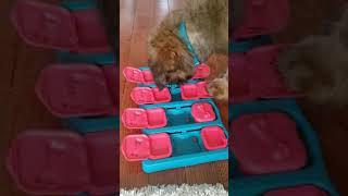 10 week old Briard puppy is served lunch in a Dog Brick puzzle