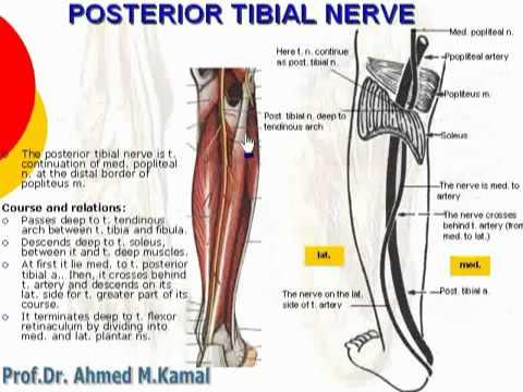 122 L Limb Posterior tibial nerve د أحمد كمال cxt - YouTube