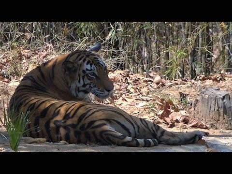 WE explore the wilds of India in search of tigers!