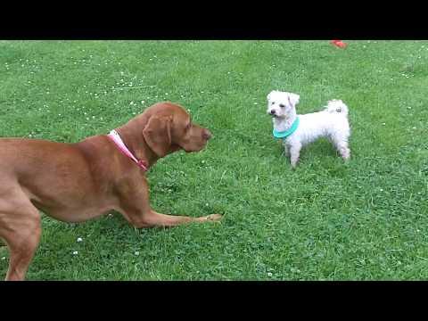 Hungarian Vizsla Archie loving Bichon Peppa.