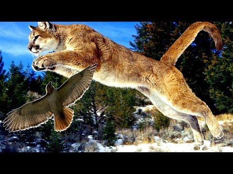 🐺 Caracal Cat Attack ► Wild Animals Videos ► Wild Animals Hunting